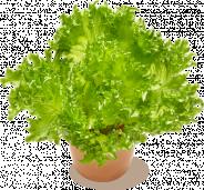 Jääsalaatti
